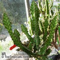 Euphorbia pseudocactus, Euphorbia 'Zig Zag', Zig-Zag Plant   Click to see full-size image