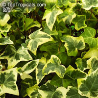 Hedera sp., Ivi
