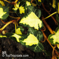 Hedera sp., IviClick to see full-size image