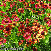 Helenium sp. , Sneezeweed