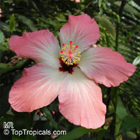 Hibiscus storckii, Hidden Valley Hibiscus  Click to see full-size image