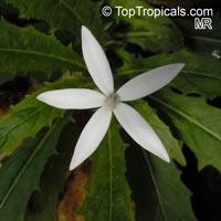Hippobroma longiflora, Star of Bethlehem  Click to see full-size image
