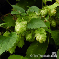 Humulus lupulus, Hops, Common Hop  Click to see full-size image