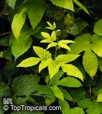 Humulus lupulus, Hops, Common HopClick to see full-size image