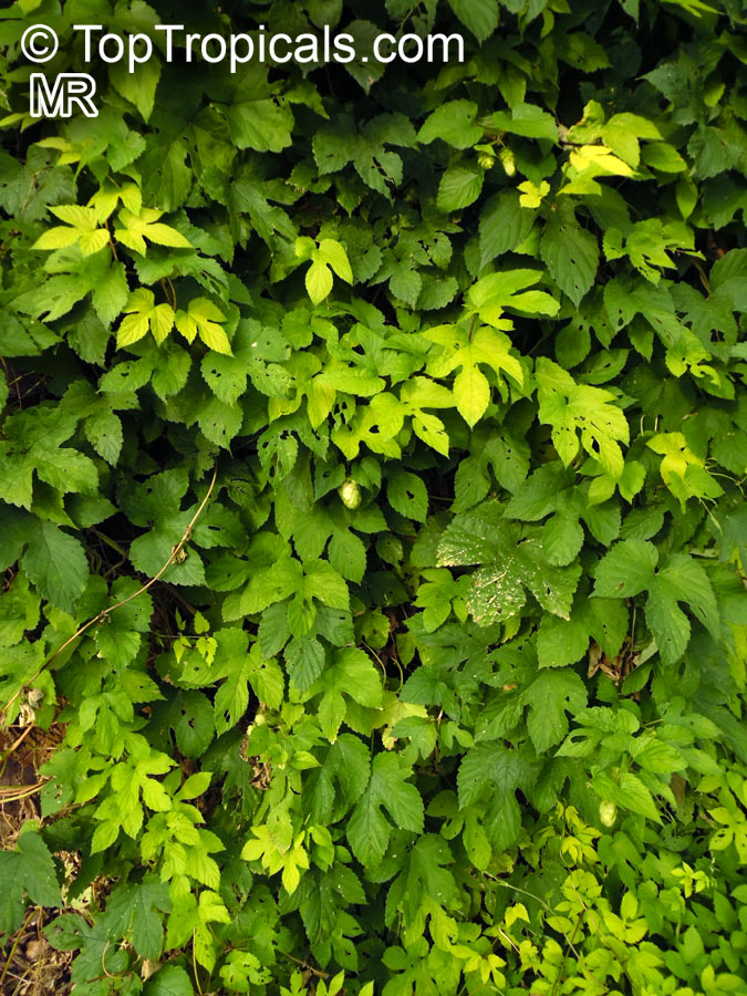 Humulus Lupulus Hops Common Hop Toptropicals Com
