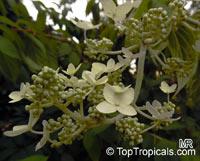 Hydrangea sp., Hydrangea  Click to see full-size image
