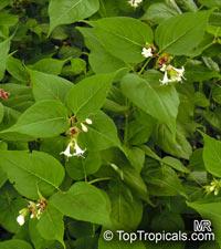 Leycesteria formosa, Himalayan Honeysuckle,Flowering Nutmeg, Himalaya Nutmeg  Click to see full-size image