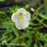 Limnophila aromatica, Limnophila chinensis var. aromatica, Rice Paddy HerbClick to see full-size image