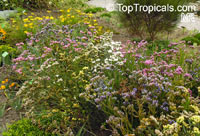 Limonium sp., Sea-lavender, Statice, Marsh-rosemaryClick to see full-size image