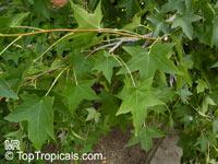 Liquidambar styraciflua, American Sweetgum, American-storaxClick to see full-size image