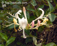 Lonicera periclymenum, European Honeysuckle  Click to see full-size image
