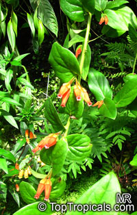 Macleania sp., Macleania  Click to see full-size image