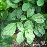 Momordica rostrata , Momordica  Click to see full-size image