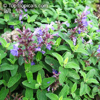 Nepeta grandiflora, Caucasus Catnip  Click to see full-size image