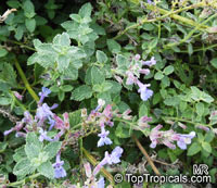 Nepeta racemosa , Nepeta, Catmint   Click to see full-size image