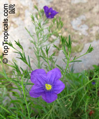 Nierembergia sp., Cupflower  Click to see full-size image