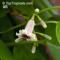 Paederia foetida, Paederia scandens, Skunkvine, Stinkvine, Chinese Fever Vine  Click to see full-size image