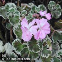 Pelargonium x hortorum, Zonal Geranium, Garden Geranium  Click to see full-size image