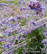 Perovskia sp., Russian Sage  Click to see full-size image