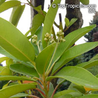 Persea indica, Laurus indica, Madeira Mahogany  Click to see full-size image