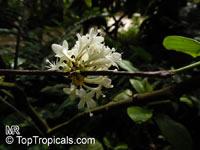 Phaleria capitata, Ongael, Phaleria Jack  Click to see full-size image