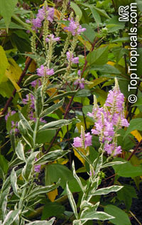 Physostegia virginiana, Obedient Plant, False Dragonhead  Click to see full-size image