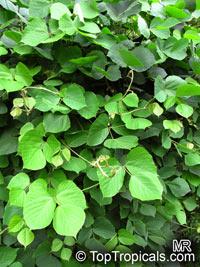 Pueraria sp., Puero, Kudzu  Click to see full-size image