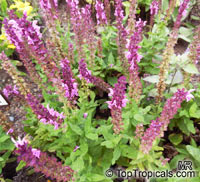 Salvia nemorosa, Woodland Sage, Balkan Clary  Click to see full-size image