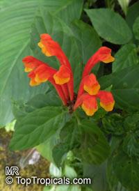Scutellaria sp., Skullcap  Click to see full-size image