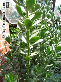 Senecio sp., Senecio  Click to see full-size image