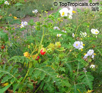 Solanum sisymbriifolium, Solanum balbisii, Sticky Nightshade, Litchi Tomato, Morelle de BalbisClick to see full-size image