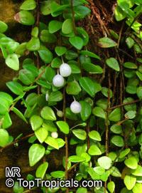 Sphyrospermum sp., Sphyrospermum  Click to see full-size image
