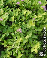 Spiraea japonica, Japanese Meadowsweet, Japanese Spiraea, Korean Spiraea  Click to see full-size image