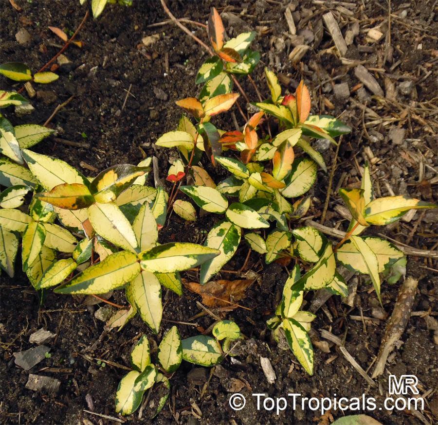 Trachelospermum Asiaticum Tricolor Goshiki Kazura Tricolor Star