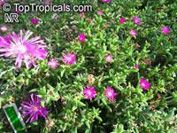 Trichodiadema sp., African Bonsai, Miniature Desert Rose  Click to see full-size image