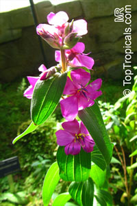 Unknown 88, Melastomataceae  Click to see full-size image