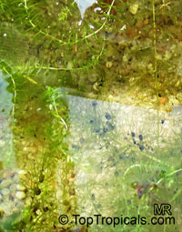 Utricularia sp., Bladderwort