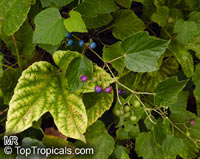 Vitis sp., GrapevinesClick to see full-size image