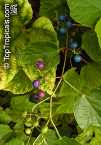 Vitis sp., Grapevines  Click to see full-size image
