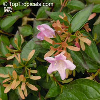Abelia grandiflora, Glossy Abelia  Click to see full-size image
