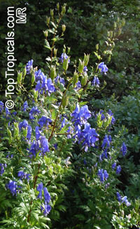 Aconitum sp., Monkshood, Wolfsbane
