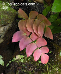 Adiantum sp., Maidenhair Fern  Click to see full-size image