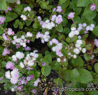 Ageratum houstonianum, Flossflower  Click to see full-size image
