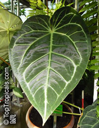 Anthurium crystallinum, Crystal anthurium, Tail Flower