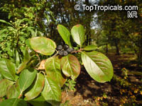 Aronia melanocarpa, Chokeberry  Click to see full-size image
