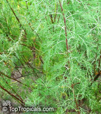 Artemisia abrotanum, Southernwood  Click to see full-size image