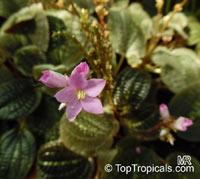 Bertolonia marmorata, Jewel Plant  Click to see full-size image