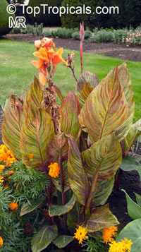 Canna Tropicanna  Click to see full-size image