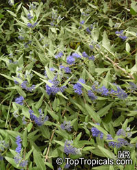 Caryopteris × clandonensis, Bluebeard, Blue Spirea, Blue Mist shrub  Click to see full-size image