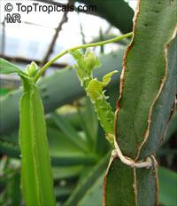 Cissus cactiformis, Cucumber Cactus  Click to see full-size image